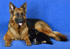 German Shepherd with puppies!. German Shepherd with puppies on a blue background stock images