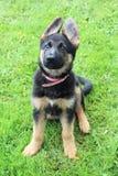 German Shepherd puppies Royalty Free Stock Photos
