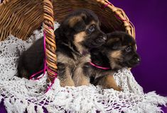 German shepherd puppies sitting in a basket. Purple background royalty free stock photo