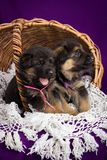 German shepherd puppies sitting in a basket. Purple background royalty free stock photography