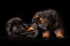 German shepherd puppies studio portrait on black. 6 weeks old long-haired German shepherd puppies studio portrait on black background stock images