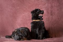 German shepherd puppies studio portrait on black. 6 weeks old long-haired red and black German shepherd puppies studio portrait on coloured background stock image