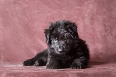German shepherd puppies studio portrait. 6 weeks old long-haired black German shepherd puppies studio portrait on coloured background royalty free stock photos