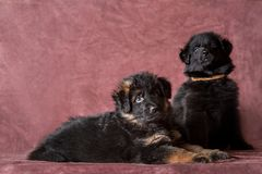 German shepherd puppies studio portrait. 6 weeks old long-haired red and black German shepherd puppies studio portrait on coloured background royalty free stock image