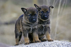 German Shepherd Puppies Royalty Free Stock Image