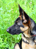 German shepherd puppy. A face of the German shepherd puppy stock image