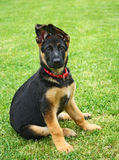 German shepherd puppy. The German shepherd puppy on the garden royalty free stock image