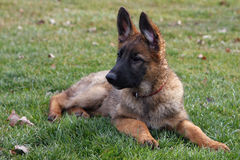 German Shepherd Puppy. Laying In Grass Ears Up Royalty Free Stock Photography