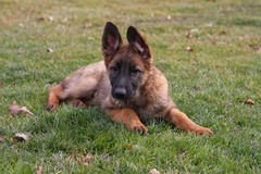 German Shepherd Puppy. Laying In Grass Stock Images