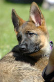 German Shepherd puppy. A German Shepherd puppy dog head portrait with cute expression in the face looking back and watching other dogs in the park outdoors Stock Photos