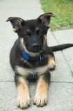 German Shepherd puppy Stock Photo