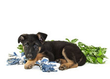 German Shepherd Puppy Stock Image