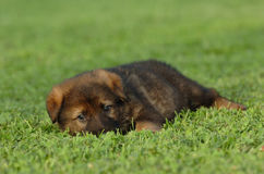 German shepherd puppy. A beautiful brown german shepherd puppy lying down in the green grass in sunshine with a pretty face and watching other dogs stock photography