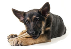 German shepherd puppy Stock Photography