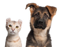 German Shepherd puppy, 3 months old and a Royalty Free Stock Images