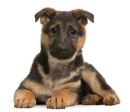 German Shepherd puppy, 3 months old, lying Stock Photo