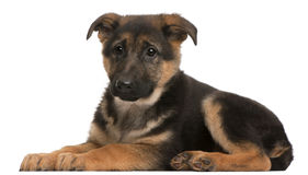 German Shepherd puppy, 3 months old, lying Stock Photography
