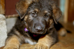 German Shepherd puppy. Close-up of cute German Shepherd puppy Stock Photos