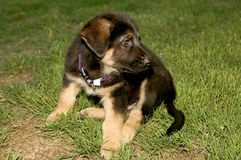 German Shepherd Puppy. Cute German shepherd puppies with shallow depth of field Stock Photography