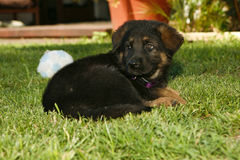 German Shepherd Puppy. A German shepherd puppy laying in the grass. There is a shallow depth of field Stock Images