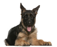 German Shepherd puppy, 4 months old, lying Stock Photo