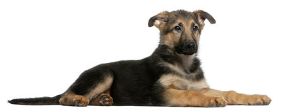German Shepherd puppy, 4 months old, lying Royalty Free Stock Image