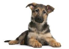 German Shepherd puppy, 4 months old, lying Stock Photo