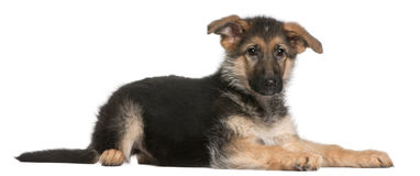 German Shepherd puppy, 4 months old, lying Stock Photos