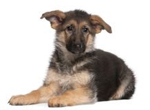 German Shepherd puppy, 4 months old, lying Stock Images