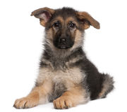German Shepherd puppy, 4 months old, lying Royalty Free Stock Photos