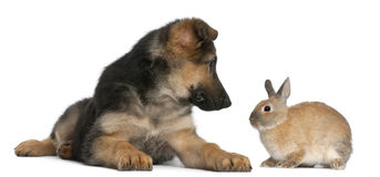 German Shepherd puppy, 4 months old, and a rabbit Royalty Free Stock Images