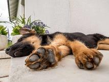 Free German Shepherd Puppy Royalty Free Stock Photo - 41533305