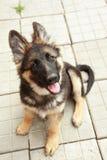 German shepherd puppy Stock Photos
