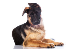 German shepherd puppy Royalty Free Stock Images