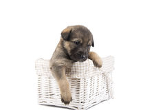 German shepherd puppy in basket isolated on white Royalty Free Stock Photos