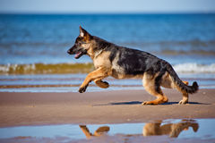 German shepherd puppy on the beach Royalty Free Stock Photo