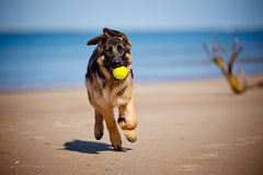 German shepherd puppy on the beach Royalty Free Stock Images
