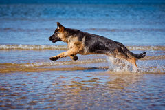 German shepherd puppy on the beach Royalty Free Stock Image