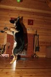 German Shepherd puppy. Beautiful German Shepherd puppy jumping in the wooden house Royalty Free Stock Photo