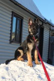 German Shepherd puppy. Beautiful German Shepherd puppy near the house Royalty Free Stock Photography