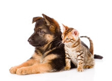 German shepherd puppy and bengal kitten in profile.  Royalty Free Stock Photography