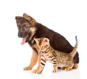 German shepherd puppy and bengal kitten sitting in profile.  Royalty Free Stock Photos