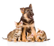 German shepherd puppy and bengal kittens together. isolated Stock Images