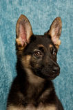 German Shepherd puppy on a blue green background Stock Images