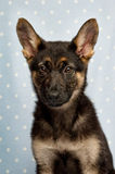 German Shepherd puppy on a blue spotty background Stock Images