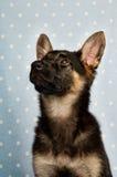 German Shepherd puppy on a blue spotty background Royalty Free Stock Image