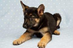 German Shepherd puppy on a blue spotty background Royalty Free Stock Photos