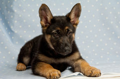 German Shepherd puppy on a blue spotty background Royalty Free Stock Images