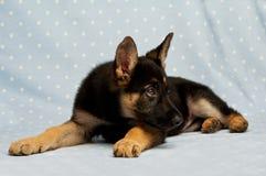 German Shepherd puppy on a blue spotty background Stock Photo