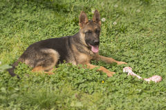 German shepherd puppy with bone Stock Photo